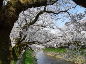 2020松川さくら